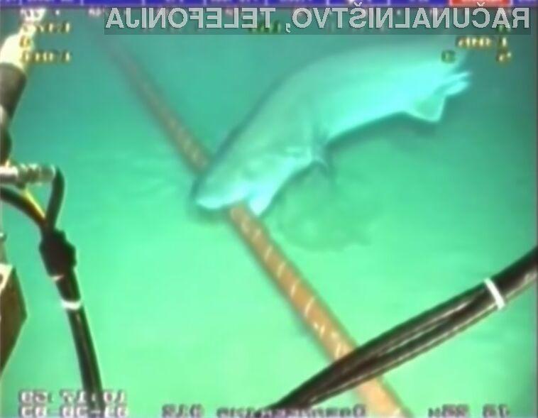 Morski psi zaradi delovanja magnetnega polja podmorski kabel hitro zamenjajo za plen!
