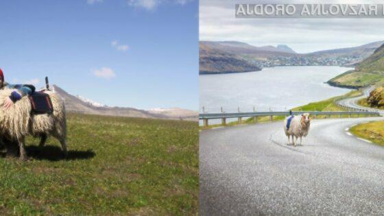 Google za svoj nov projekt uporablja kar ovce