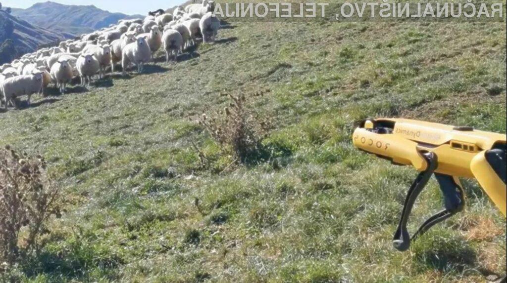 Robot Spot se odlično znajde v vlogi pastirja ovac na težko dostopnih pašnikih.